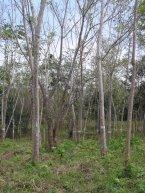 Area Ñame, Cedro Amargo, 2001