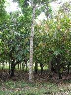Area Cacao, Caoba Africana
